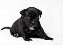 Puppy American bullies. Little cute puppy Royalty Free Stock Photo
