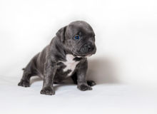 Puppy American bullies. Little cute puppy Royalty Free Stock Photos