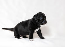 Puppy American bullies. Little cute puppy Stock Images
