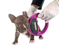 Free Puppy American Bully And Microchip Stock Photography - 157172162