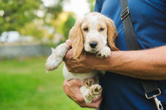Puppy American Cocker Spaniel stock images