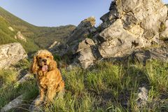 Puppy American Cocker Spaniel. Sitting in the grass among the rocks royalty free stock photos