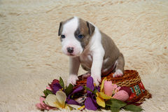Puppy American Staffordshire Terrier, dog turned Stock Images