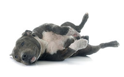 Puppy american staffordshire terrier Royalty Free Stock Images