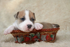 Puppy of the American Staffordshire terrier lyin Stock Photo