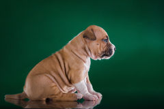 Puppy American Staffordshire Terrier Royalty Free Stock Image
