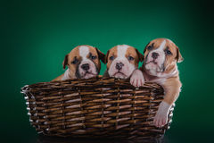 Puppy American Staffordshire Terrier Royalty Free Stock Photo