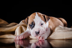 Puppy American Staffordshire Terrier Stock Images