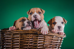 Puppy American Staffordshire Terrier Royalty Free Stock Photos