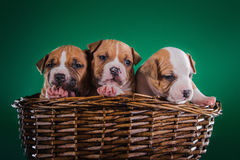 Puppy American Staffordshire Terrier Royalty Free Stock Photography