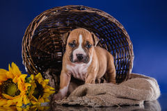 Puppy American Staffordshire Terrier Stock Photos