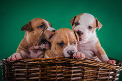 Puppy American Staffordshire Terrier Stock Image