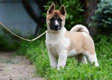 Puppy Amerikaanse akita Royalty-vrije Stock Foto's