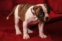 Puppy Amerikaanse buldog Stock Afbeeldingen