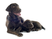 Puppy And Adult Labrador Retriever Royalty Free Stock Photo