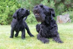 Puppy And Barking Adult Dog Of Giant Black Schnauzer Dog Royalty Free Stock Photography