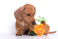 Puppy And Basket Stock Images
