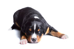 Puppy appenzeller sennenhund, two weeks old Royalty Free Stock Images