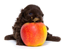 Puppy with an apple Royalty Free Stock Images