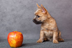 Puppy with apple. Stock Photo