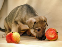 Puppy with apples Stock Photography