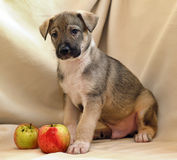 Puppy with apples Stock Image