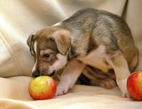 Puppy with apples Royalty Free Stock Image