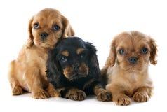 Puppy arrogante koning Charles Royalty-vrije Stock Fotografie