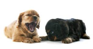 Puppy arrogante koning Charles stock foto's