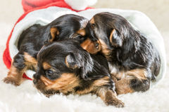 Puppy as a gift for Christmas Royalty Free Stock Photo