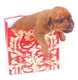 Puppy as present in gift bag Royalty Free Stock Photo