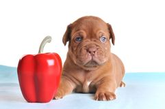Puppy as small as Pepper Royalty Free Stock Photography