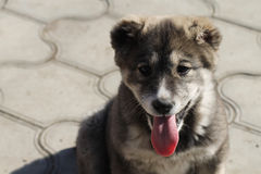 Puppy Asian shepherd. Grey little puppy Asian shepherd Stock Image