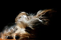 Puppy Asleep in Light & Shadow. A tiny Silky Terrier puppy sleeps in a shaft of light (shallow focus royalty free stock photo