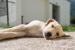 Puppy asleep Royalty Free Stock Images