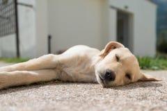 Puppy asleep. Sleeping Golden Retriever puppy, seen in Greece Royalty Free Stock Images