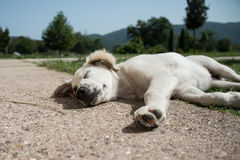 Puppy asleep Royalty Free Stock Photos