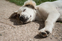 Puppy asleep Royalty Free Stock Photography