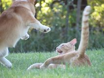 Puppy attack. Corgi flies thru air to attack a cat Stock Image