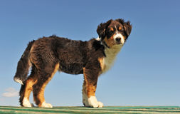 Puppy australian shepherd Stock Photos