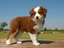 Puppy australian shepherd Royalty Free Stock Photo