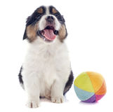 Puppy australian shepherd and ball Stock Photography