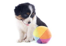 Puppy australian shepherd and ball Royalty Free Stock Images