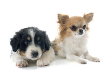Puppy australian shepherd and chihuahua Royalty Free Stock Photo