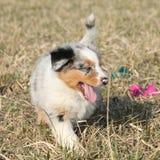 Puppy of Australian Shepherd Dog moving outside Royalty Free Stock Image