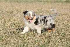Puppy of Australian Shepherd Dog moving outside Royalty Free Stock Photography