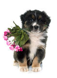 Puppy australian shepherd and flowers Royalty Free Stock Images