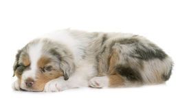 Puppy australian shepherd. In front of white background royalty free stock images