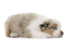 Puppy australian shepherd. In front of white background stock image