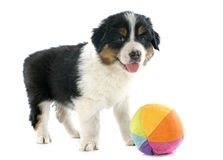Puppy australian shepherd Royalty Free Stock Photography